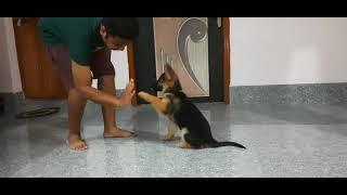 German Shepherd Puppy 9 Weeks Old Basic Obedience training   Most Intelligent Dog Breed