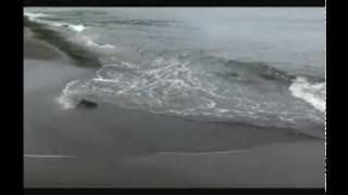 видео: колонна горбуши идёт в мелкие речки на нерест - Iturup island - the salmon are spawning