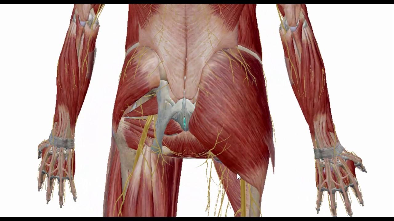 Anatomía del Glúteo Mayor - YouTube
