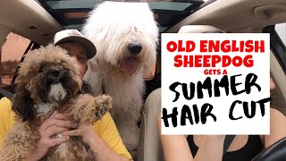Old English Sheepdogs' Summer Hair CUT | Ed&Mel