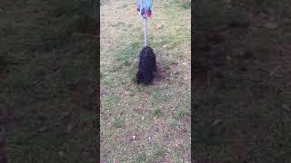 Iris dogs a hole