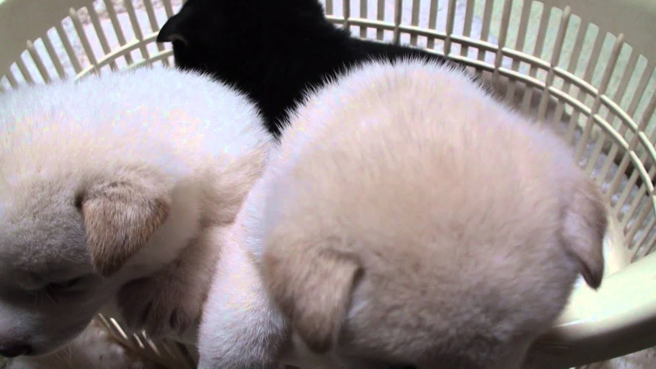 白白黒の柴犬の子犬(Shiba Inu Puppy 20140828)