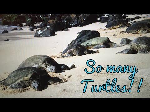 AMAZING! OVER 35 TURTLES AT HO'OKIPA BEACH! Maui Hawaii Day 8