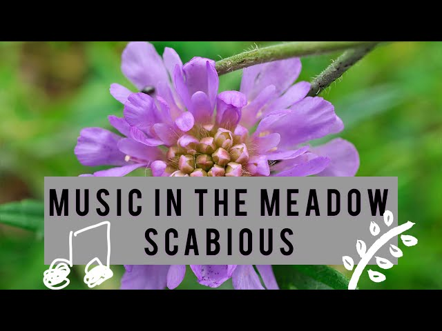 Scabious - James Oswald