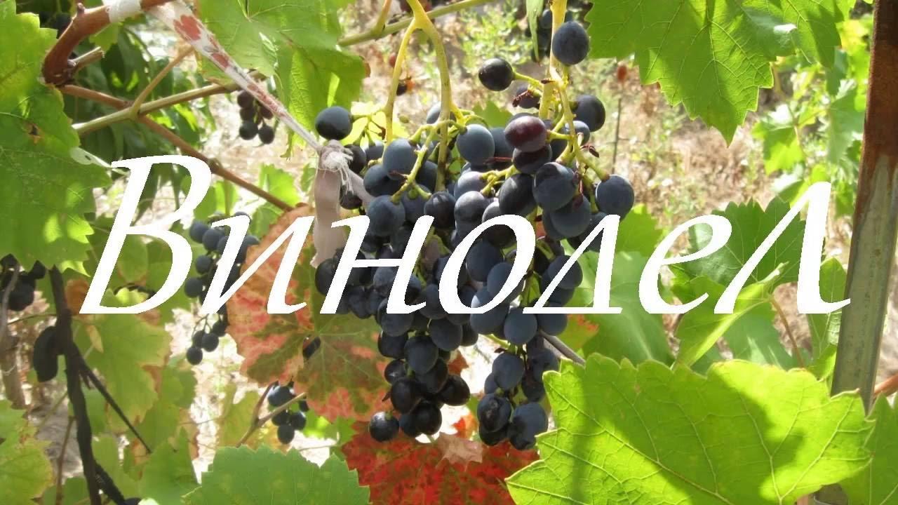 Как из винограда сделать сок фото 846