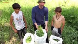 Кипрей Иван-чай, копорский чай, как приготовить.(, 2014-07-14T10:27:45.000Z)