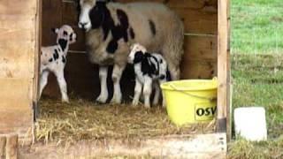 Bébé mouton jacob au gite du Martinaa en normandie