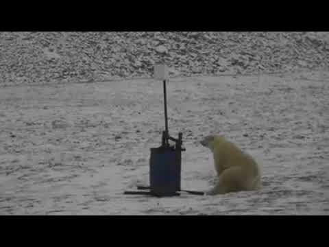 Polar bear's selfies from Wrangel Island