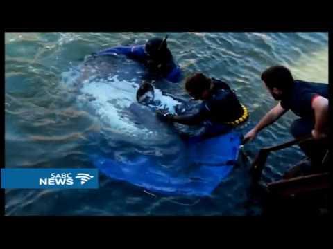 Two Oceans Aquarium rescue trapped sunfish