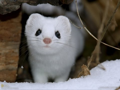 13 Weasel Facts