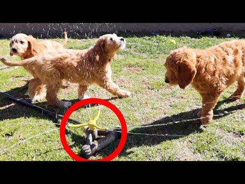GOLDEN DOODLE PUPPIES REACT TO SPRINKLER!!