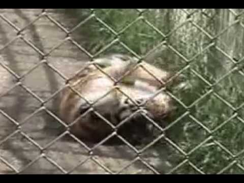 A Life Sentence - The Sad and Dangerous Realities of Exotic Animals in Private Hands in the U.S.