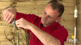 How To 'Dead Head' Your Roses