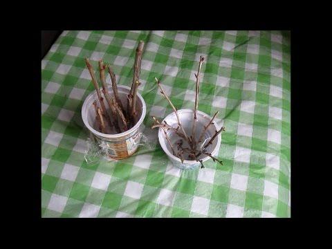 Как укоренить черенки смородины и крыжовника в воде
