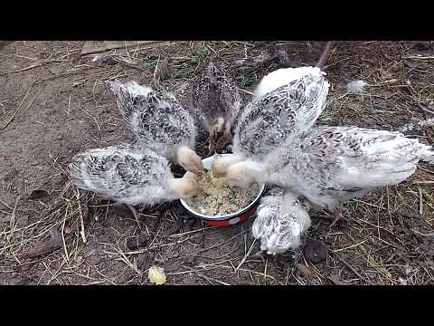 Месячные индюшата. Дом для  индюков.🐔 с цыплятами