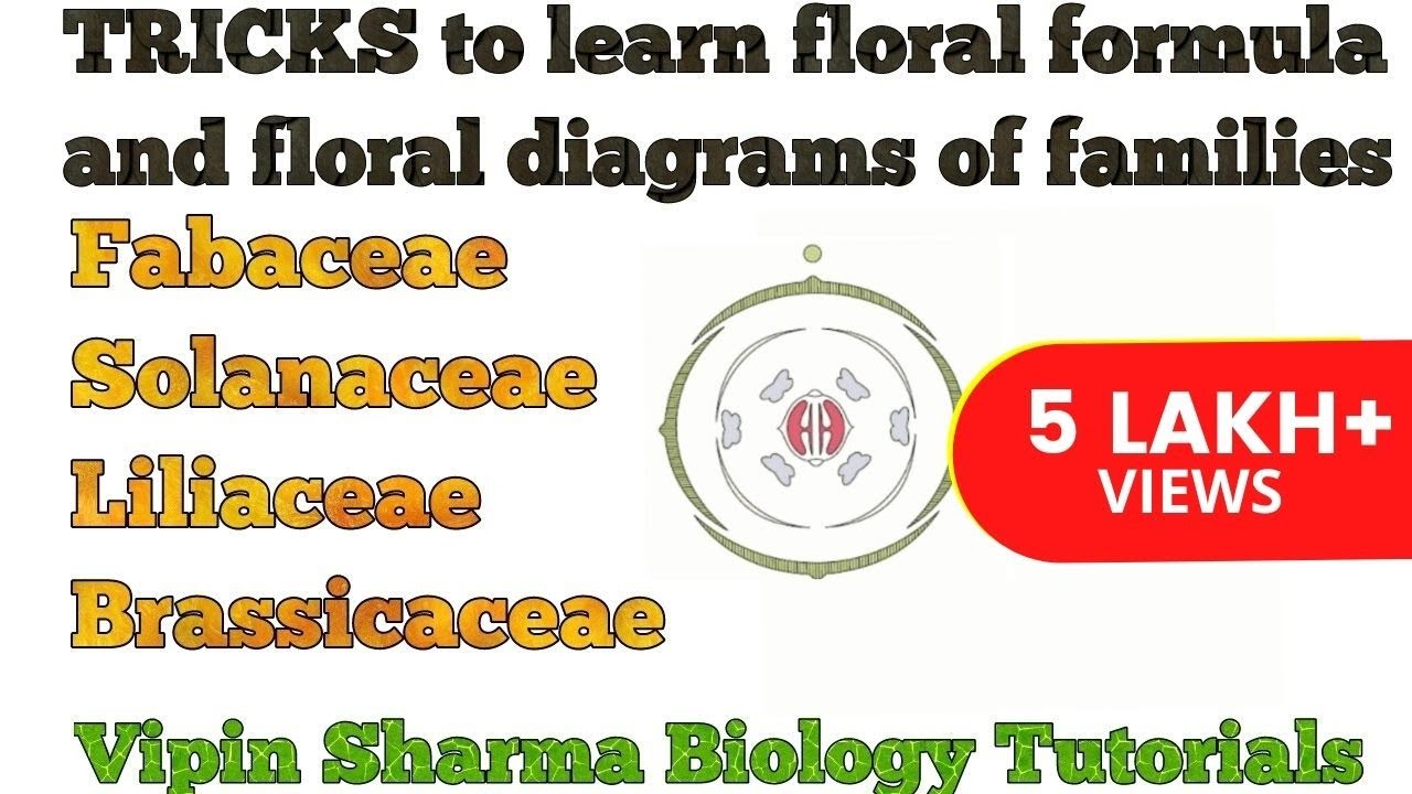 Floral diagram of hibiscus formula enthusiast wiring diagrams floral diagram of hibiscus formula images gallery izmirmasajfo