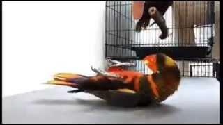 burung nuri pelangi maluku semua trick bisa