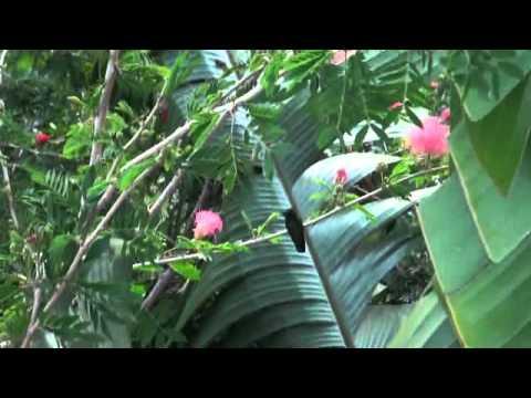 Caribbean Hummingbirds