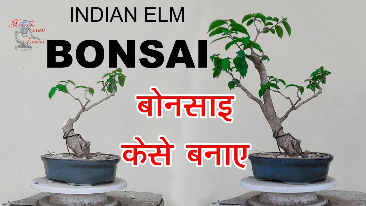 How To Make Bonsai At Home Free Diy 101 Indian Elm Tree Ka Bonsai À¤˜à¤° À¤ª À¤° À¤¬ À¤¨ À¤¸ À¤ˆ À¤• À¤¸ Youtube
