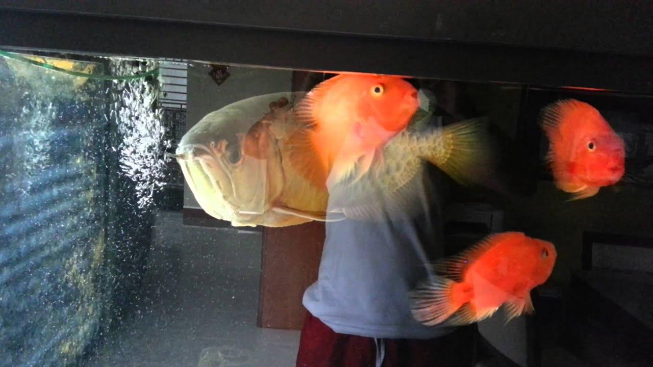 Fish tank for feng shui - Arowana Feng Shui Fish For Property