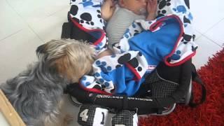 Yorkshire Terrier Misty Tucks in Her Mate