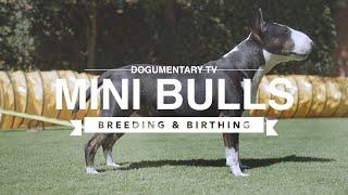 BIRTHING AND BREEDING MINI BULL TERRIERS