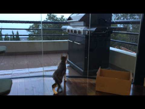 Bobby the Cat window dancing