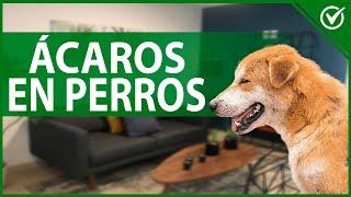 Ácaros en perros: Qué son, causas, síntomas y tratamiento