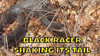 Black Racer Snake ~ Shaking its tail in the leaf litter