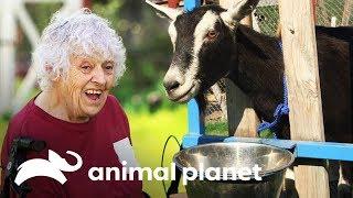 ¡Una cabra difícil de capturar! | Dra. Dee: Veterinaria de Alaska | Animal Planet
