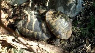 Dalmatian Tortoise Mating - Happy Valentine's Day!