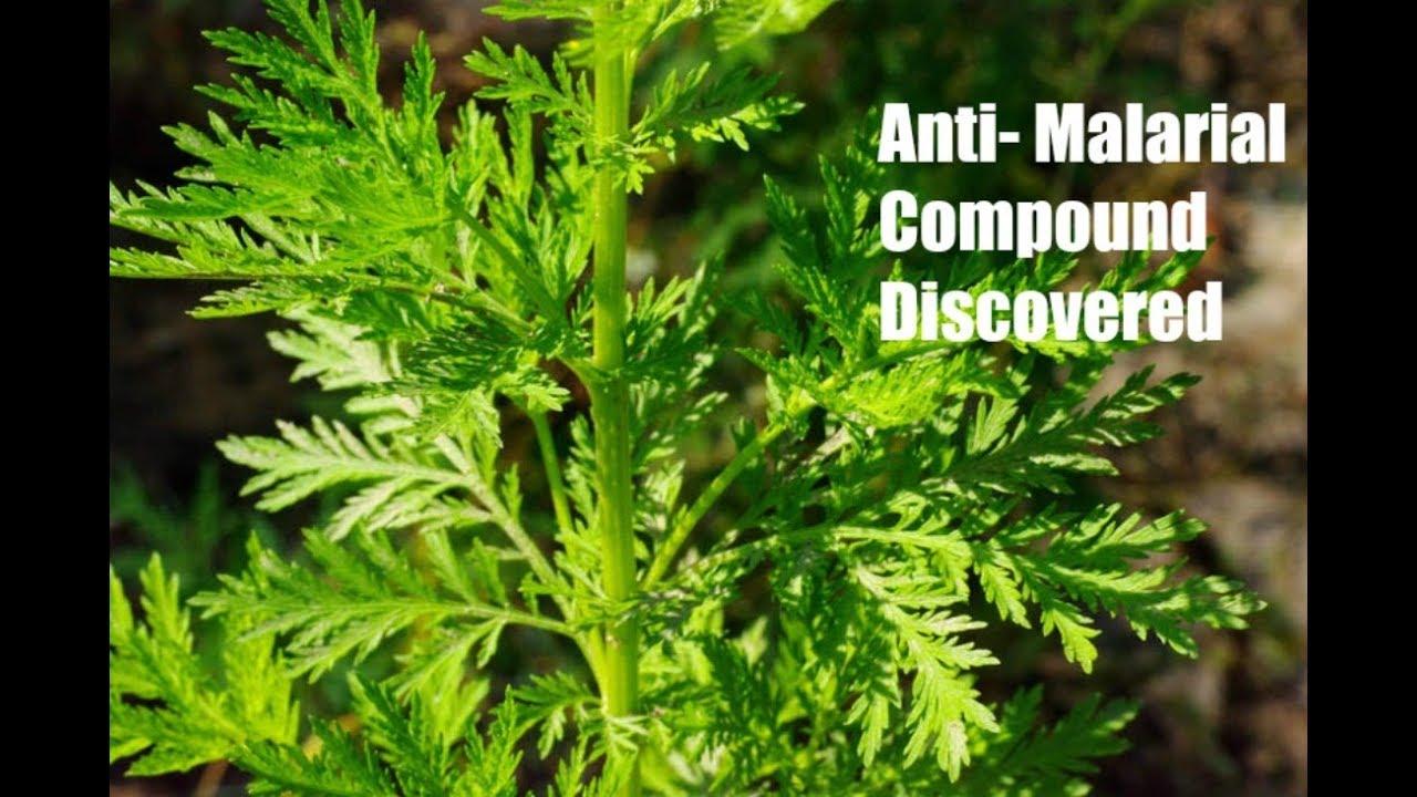 gyógyítja az artemisinin férgeket