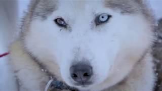 Shaman Huskies