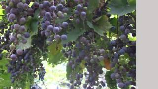 Там,где зреет виноград