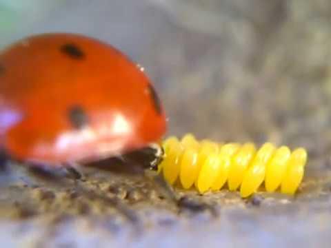 ladybug-laying-eggs!-(close-up)