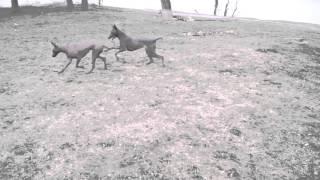 прогулка мексиканские голые собаки  стандартного размера