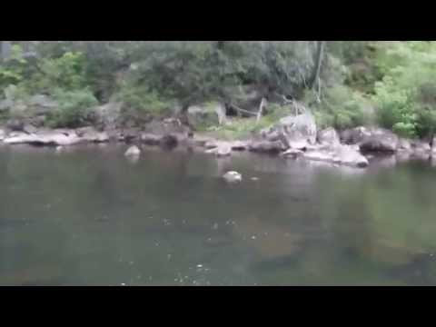 Dry Fly Brown Trout on the Lower Savage River MD