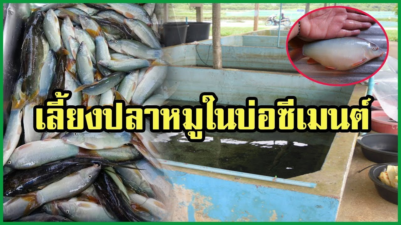 การเลี้ยงปลาหมูในบ่อปูน ปลาหายาก เนื้ออร่อย