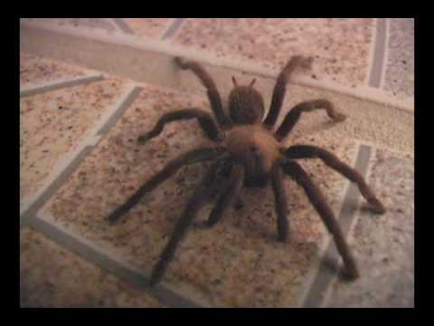 Biggest Scariest Spider
