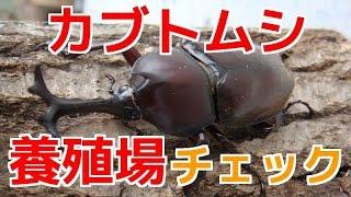 この夏採れたカブトムシのメスを投げ込んでたので ちゃんと幼虫採れてる...