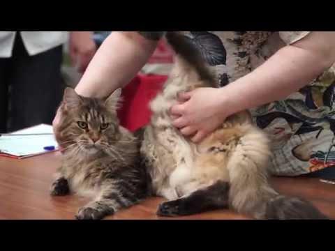 Как отличить мейн куна от обычного котенка фото