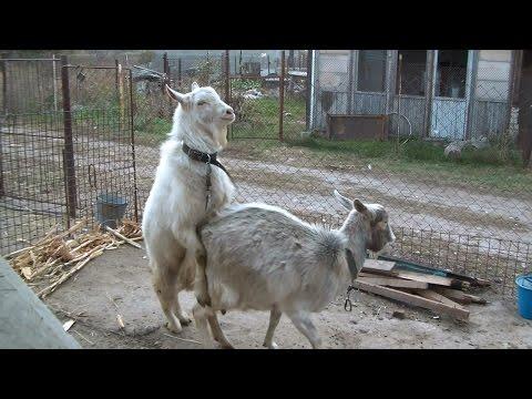 Случка коз. Как покрыть козу. Mating goat.