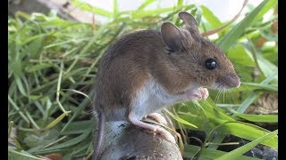 The Wood Mouse