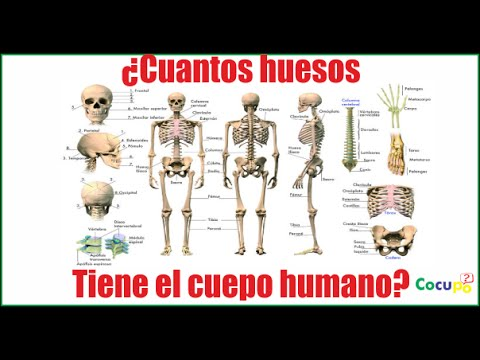 Cuantos Huesos Tiene El Cuerpo Humano Youtube