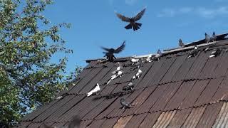 Gambar cover гон голубей в не свой ветер часть2.