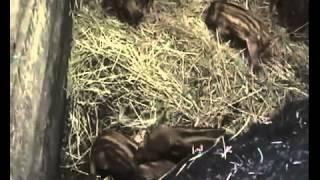 Разведение свиней породы мангал