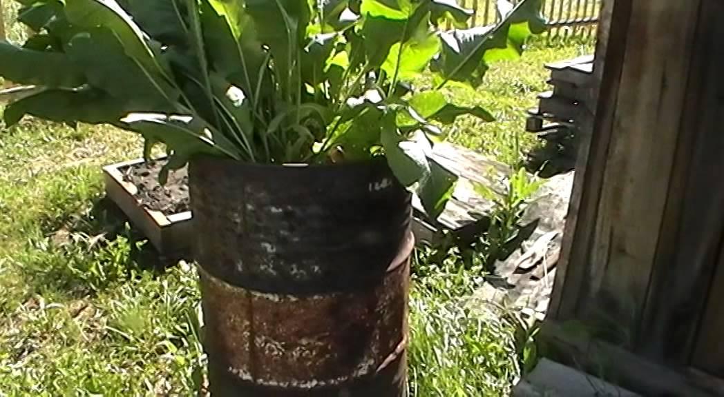 как выращивать хрен