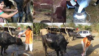 Indian village girl how to wash [bathing] buffalo village Style washing Buffalo live video