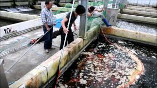 Momotaro Koi Farm - Jumbo Tosai Tategoi Selection - Koibito Japan
