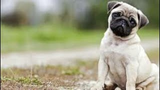 You & I in This Beautiful World    Vodafone (Pug) ads and Ringtone
